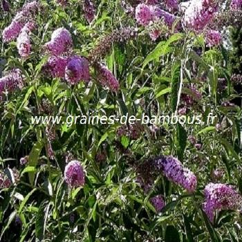 arbre-aux-papillons-www-graines-de-bambous-fr-1.jpg