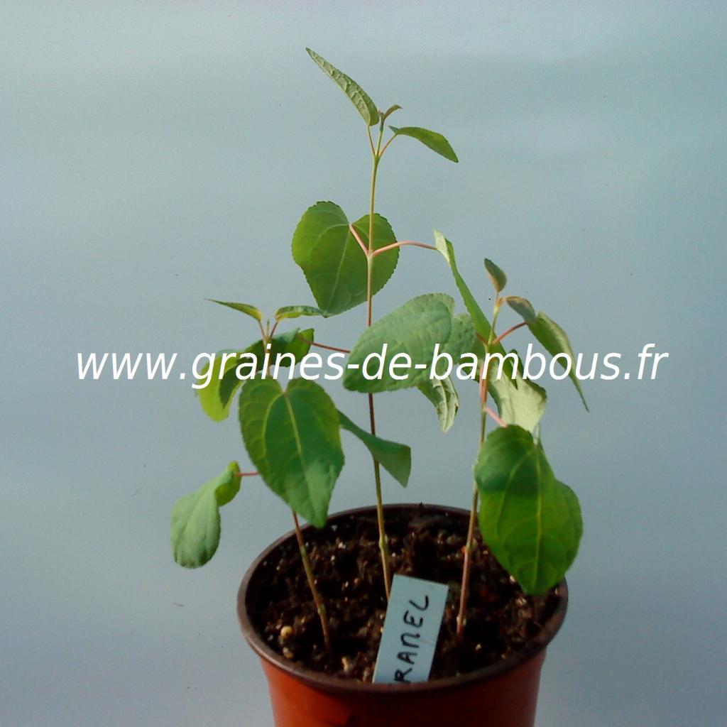 arbre-caramel-cercidiphyllum-japonicum-petits-plants-www-graines-de-bambous-fr.jpg