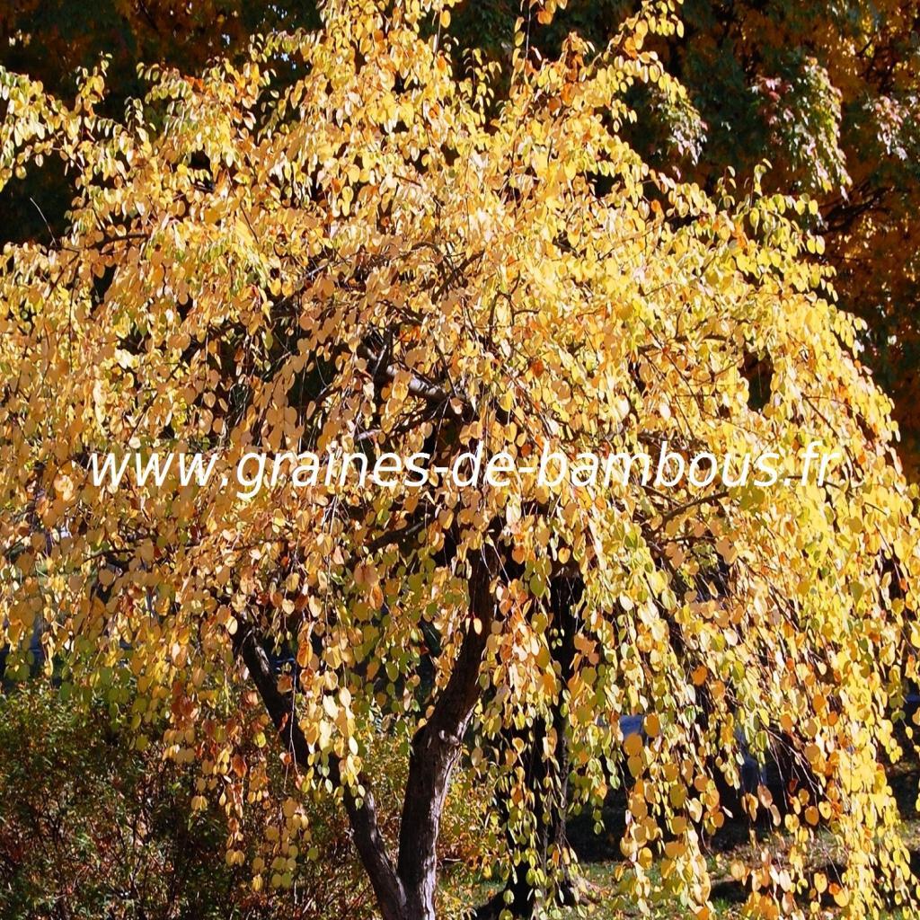 arbre-caramel-cercidiphyllum-japonicum-www-graines-de-bambous-fr-2.jpg