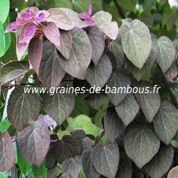 arbre-caramel-cercidiphyllum-japonicum-www-graines-de-bambous-fr.jpg