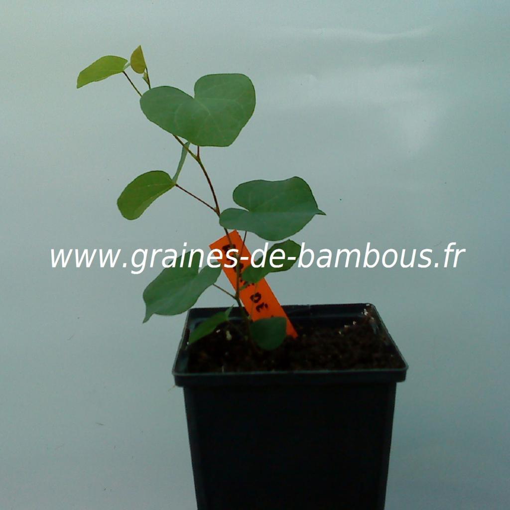 arbre-de-judee-cercis-silisquastrum-petit-plant-www-graines-de-bambous-fr.jpg