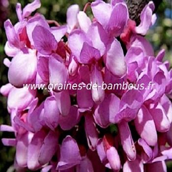 arbre-de-judee-fleurs-cercis-siliquastrum-www-graines-de-bambous-fr.jpg