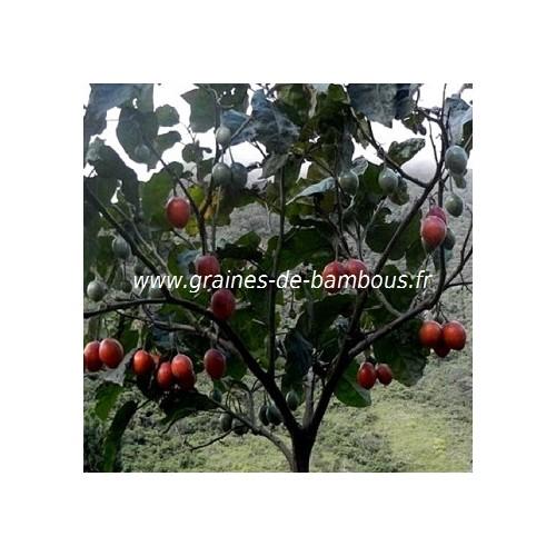 Arbre tomate cyphomandra betacea