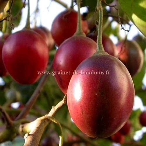 Arbre tomate fruit graines