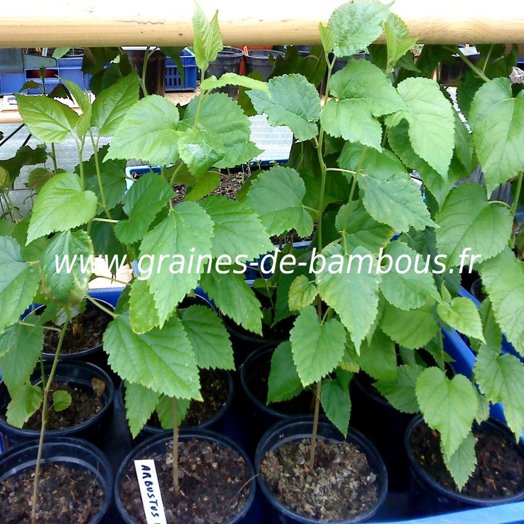 arbres-a-fraises-plants-2-www-graines-de-bambous-fr.jpg
