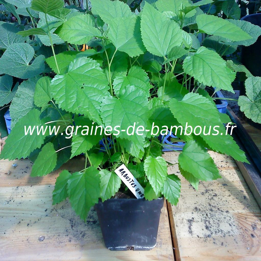 arbres-aux-fraises-plants-1-www-graines-de-bambous-fr.jpg