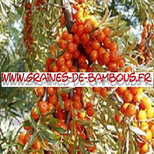 argousier-hippophae-ramnoides-1000-graines-www-graines-de-bambous-fr.jpg