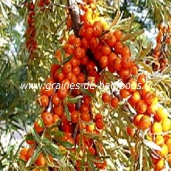 argousier-hippophae-ramnoides-www-graines-de-bambous-fr-1.jpg