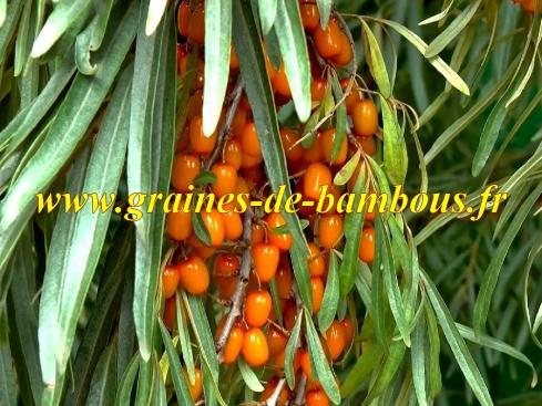Argousier hippophae rhamnoides