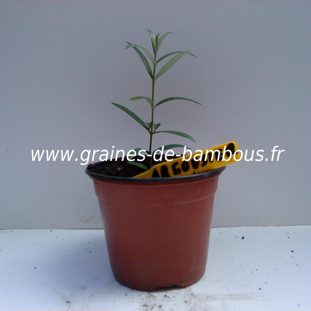 argousier-semis-www-graines-de-bambous-fr.jpg