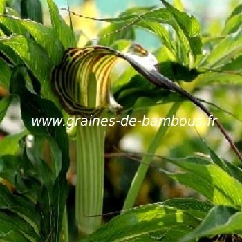 arisaema-consanguineum-www-graines-de-bambous-fr-1.jpg