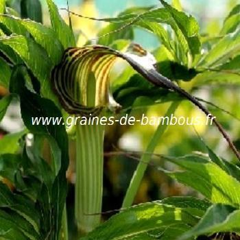 Cobra Lily Arisème consanguineum réf.429