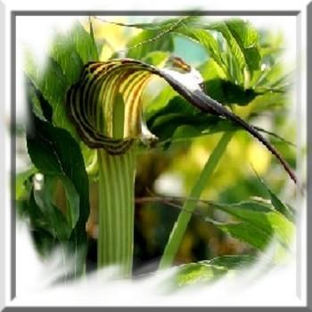 arisaema-consanguineum-www-graines-de-bambous-fr-www-grainesdebambous-com.jpg