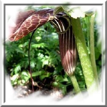 arisaema-griffithii-www-graines-de-bambous-fr-www-grainesdebambous-com.jpg