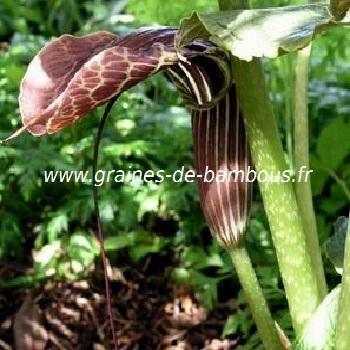 Cobra Lily Arisème griffithii réf.430