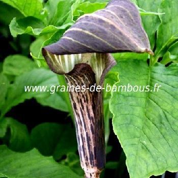 Cobra Lily Arisème nepenthoides réf.431