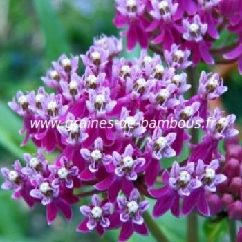 Asclepias incarnata floraison