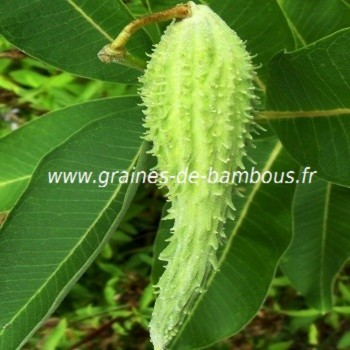Asclepias syriaca fruit
