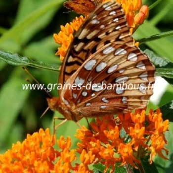 Asclepias tuberosa papillons