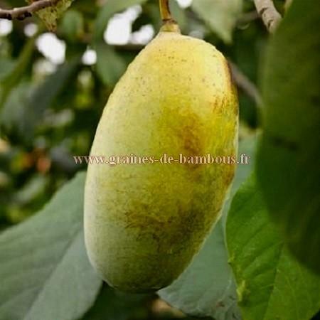 Asiminier fruit