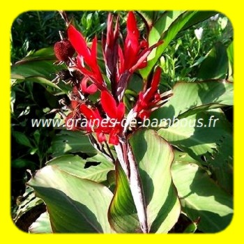 how to grow canna indica from seed