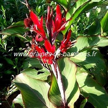 Balisier ou Conflore canna indica réf.426