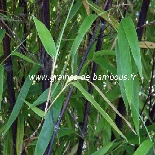 Bambou albocerea noir pourpre