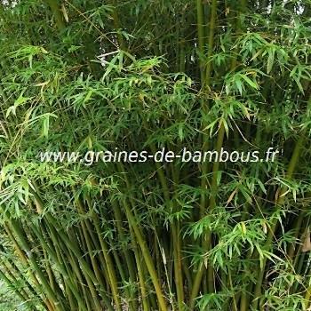 Bambusa Arundinacea 30 graines réf.331