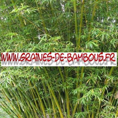 Bambous Bambusa Arundinacea 1000 graines