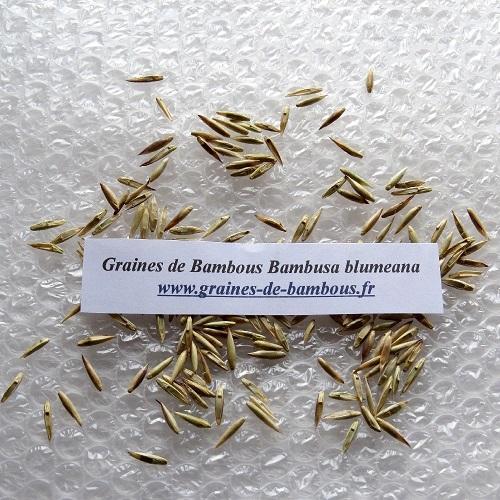 Bambou bambusa blumeana graines