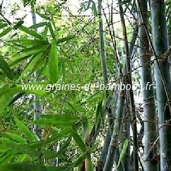 Bambou bambusa blumeana