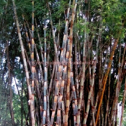 Bambou bambusa polymorpha