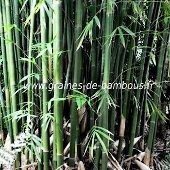 Bambusa lapidea réf.342