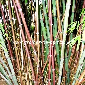 Bambou chimonocalamus delicatus