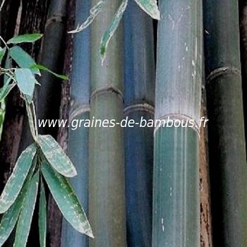Bambou dendrocalamus 100 graines