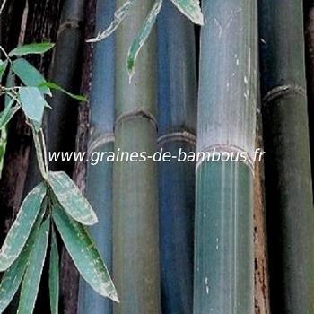 Dendrocalamus Calostachyus 100 graines réf.328a