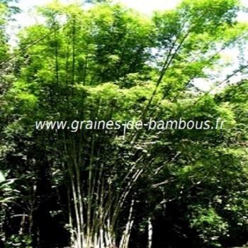 Bambou dendrocalamus asper graines