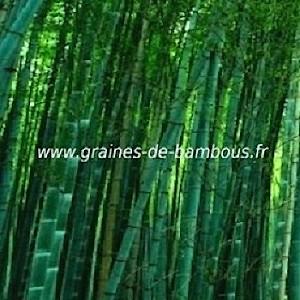 Bambou dendrocalamus bangladesh 50 graines