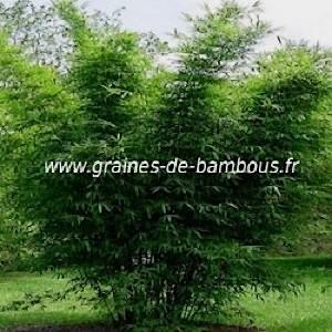 Bambou dendrocalamus bangladesh graines de bambous fr