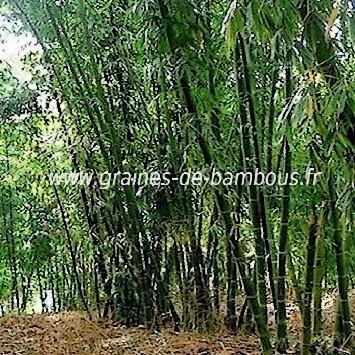 Bambou dendrocalamus calostachyus 100 graines