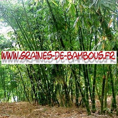 Bambous Dendrocalamus Calostachyus 1000 graines