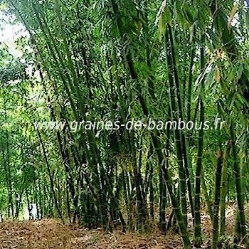 Bambou dendrocalamus calostachyus