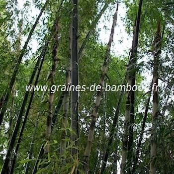 Bambou dendrocalamus cv grandis 20 graines