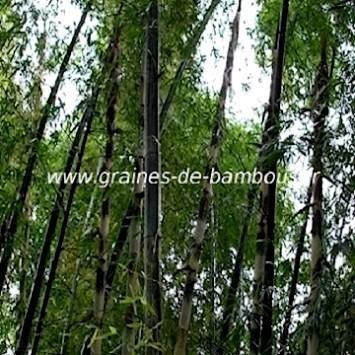 Dendrocalamus Membranaceus cv.Grandis 50 graines réf.335a