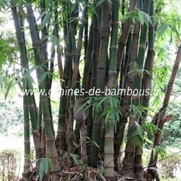 Bambou dendrocalamus giganteus 50 graines