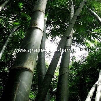 Bambou dendrocalamus latiflorus 20 graines