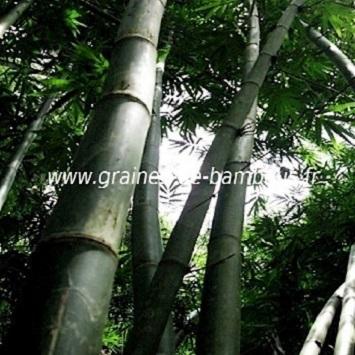 Bambou dendrocalamus latiflorus 50 graines