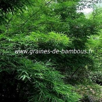 Bambou dendrocalamus membranaceus graines