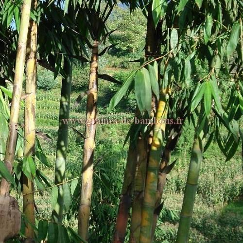 Bambou dendrocalamus peculiaris