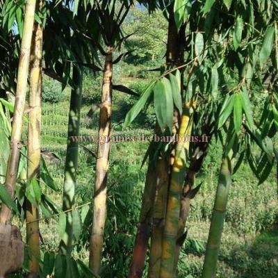 Dendrocalamus Peculiaris réf.309